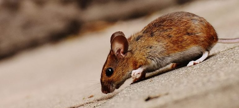 brown mouse on the street