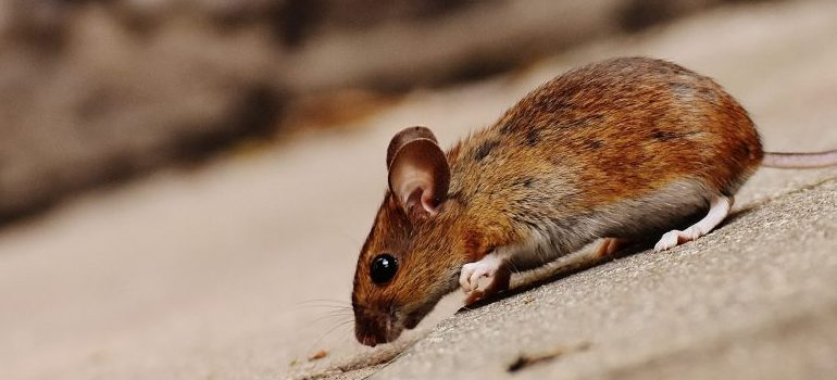 small brown mouse on the street