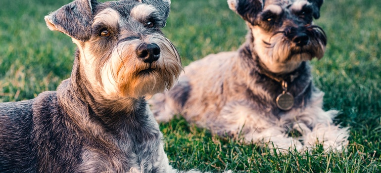 Two dogs lying on the grass